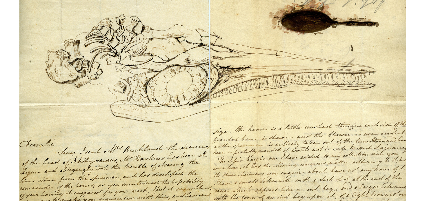 A letter from Elizabeth Philpot to William Buckland, c. 1833, containing a sketch of the same ichthyosaur skull after preparation, and a fossil ink sac painted in fossil squid ink.