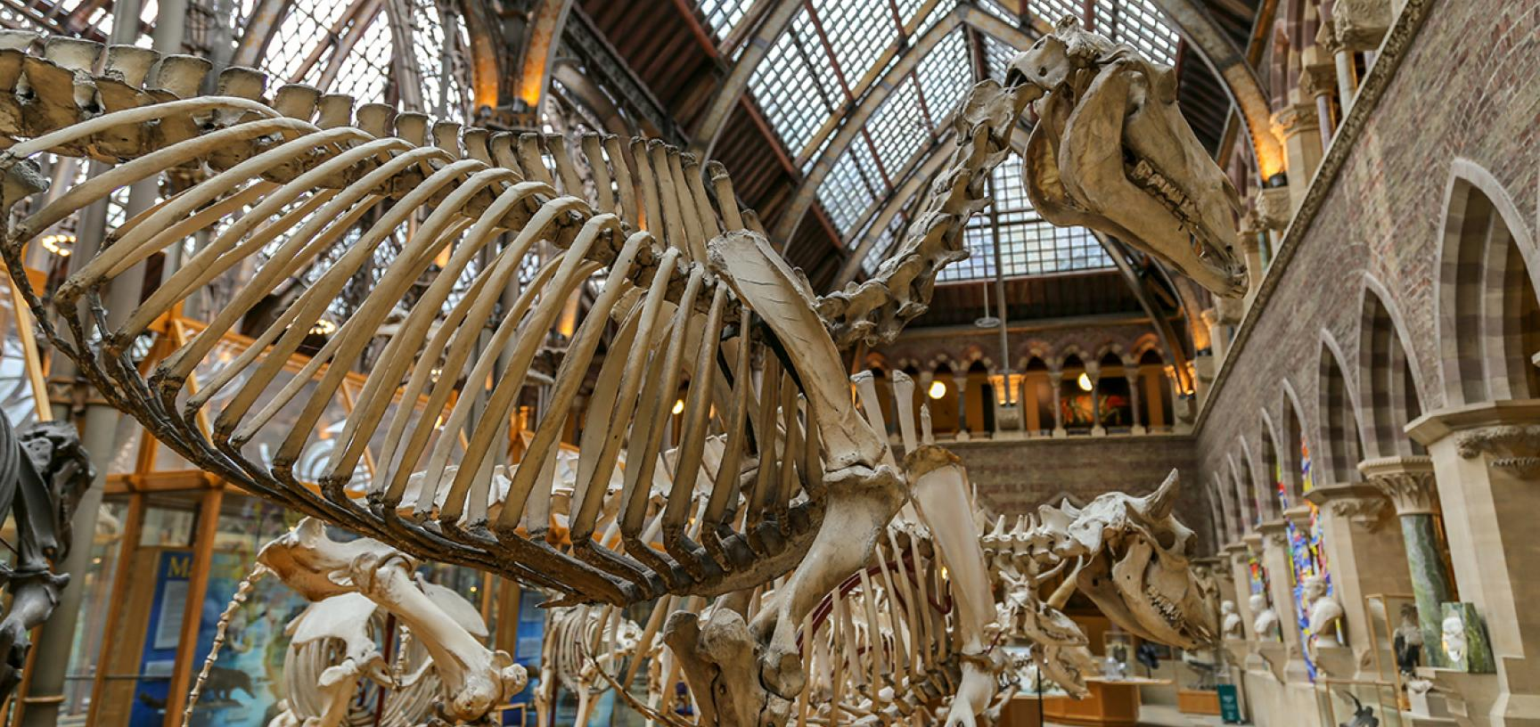 Horse skeleton (Equus caballus) with bison in background.
