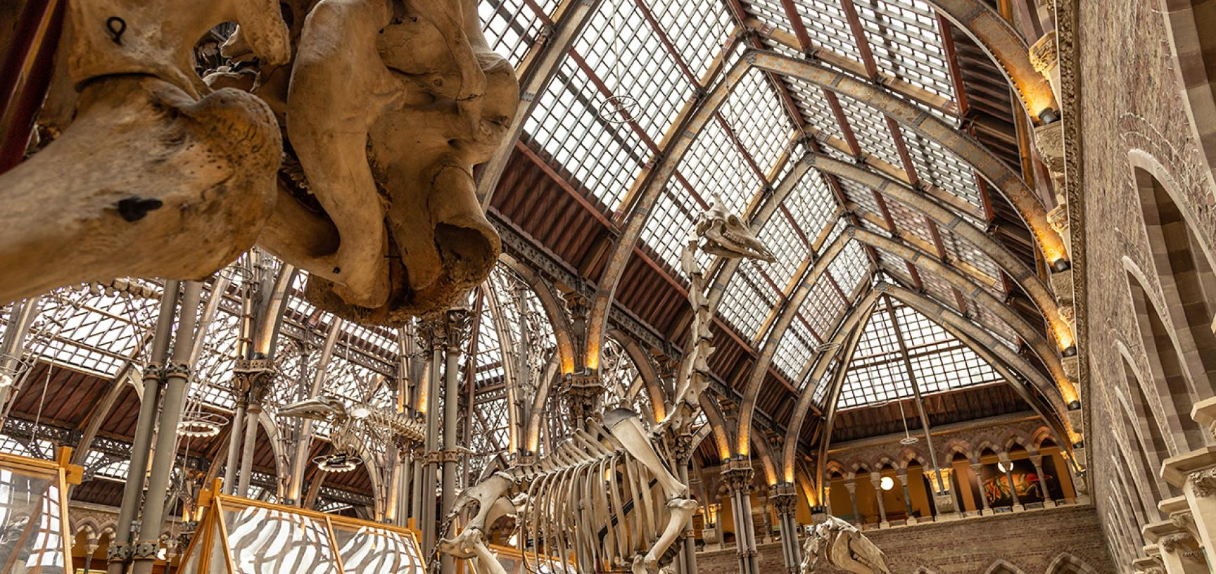 African elephant (Loxodonta africana) looking towards giraffe and horse in the skeleton parade