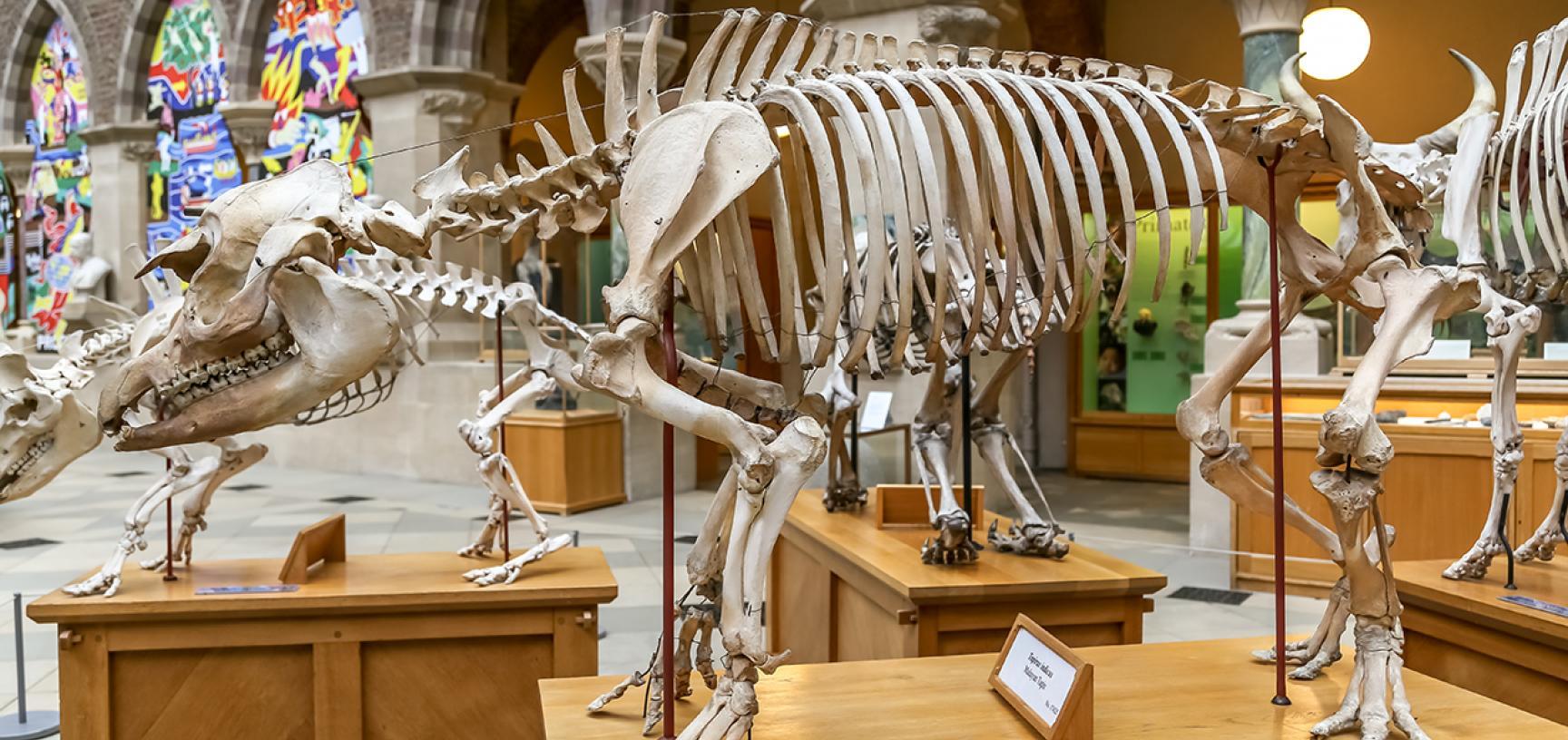 Malayan tapir (Tapirus indicus) skeleton