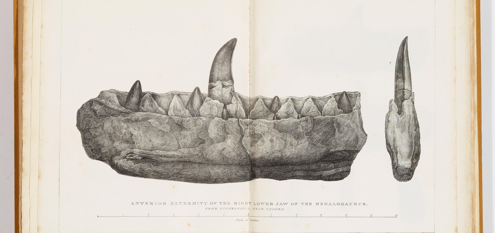 Megalosaurus illustration