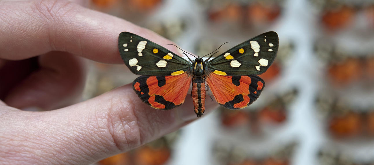 callimorpha 3 oumnh butterfly