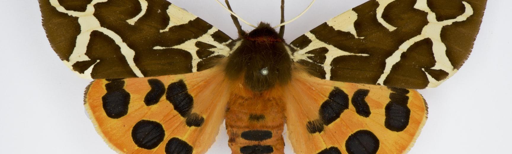 arctia caja dorsal moth