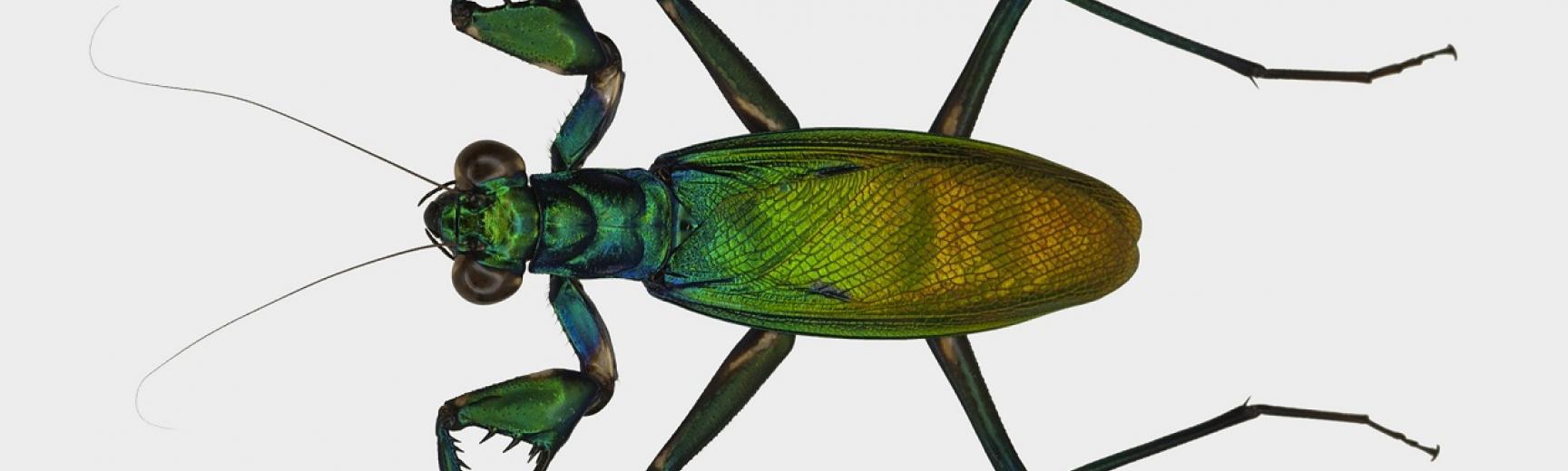 Metallyticus splendidus mantis