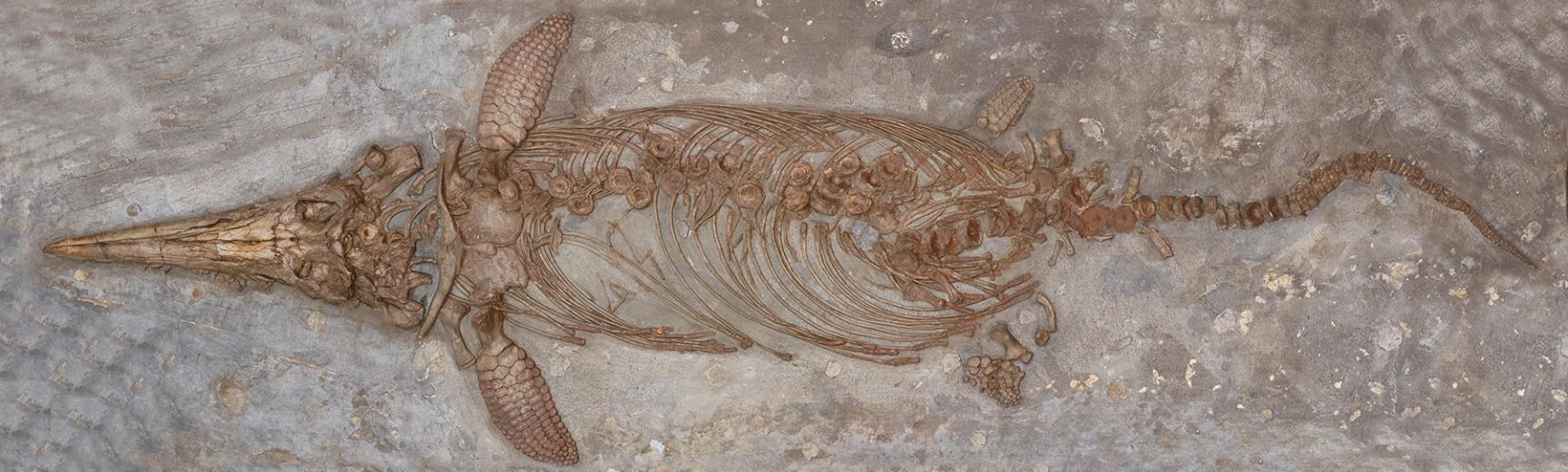 Marine reptile at OUMNH