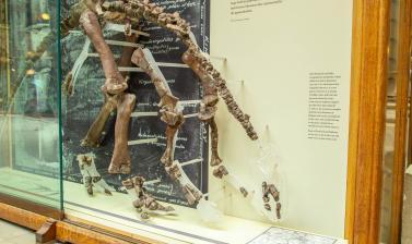 Skeleton of the plant-eating dinosaur Camptosaurus prestwichii. Oxford University Museum of Natural History