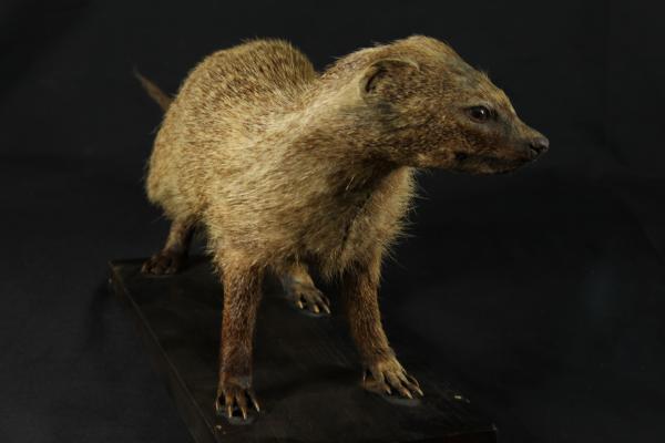 Indian grey mongoose (Herpestes edwardsii )