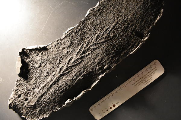 A fossil specimen of Charnia, this is a cast of a specimen found on a fossil surface in Newfoundland.
