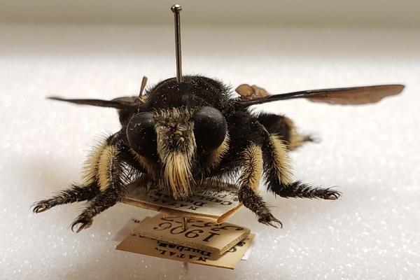 Front-facing view of robber fly pinned specimen
