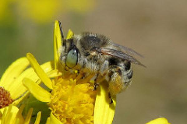 bee identification course