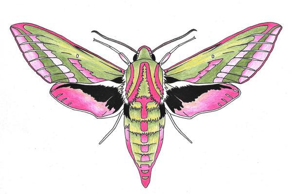 elephant hawk moth colouring sheet
