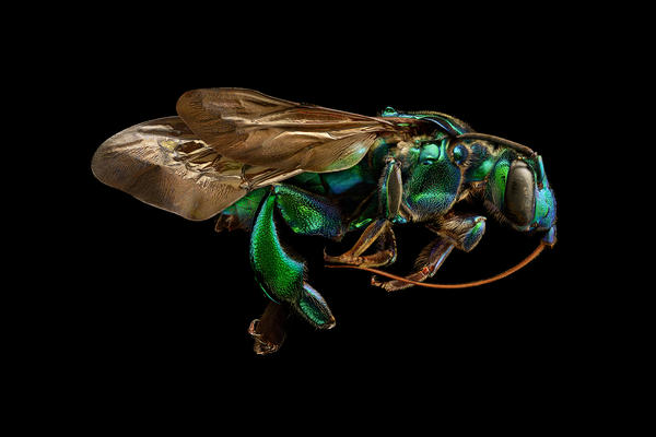 Orchid Cuckoo Bee side view
