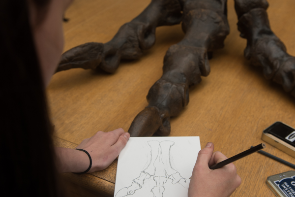 Student drawing the foot of a dinosaur in the Museum