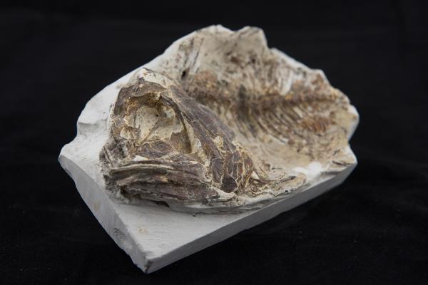 fossil fish2