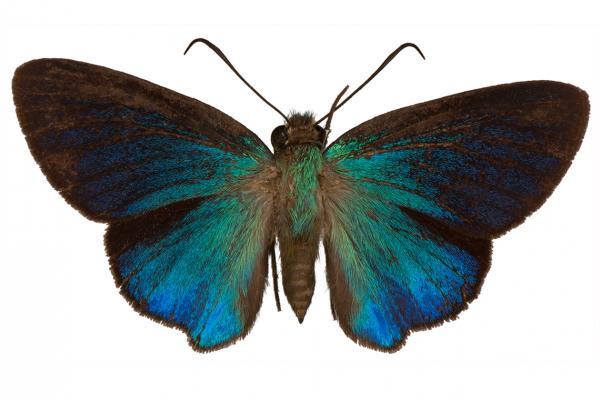 Immaculata carpenter butterfly
