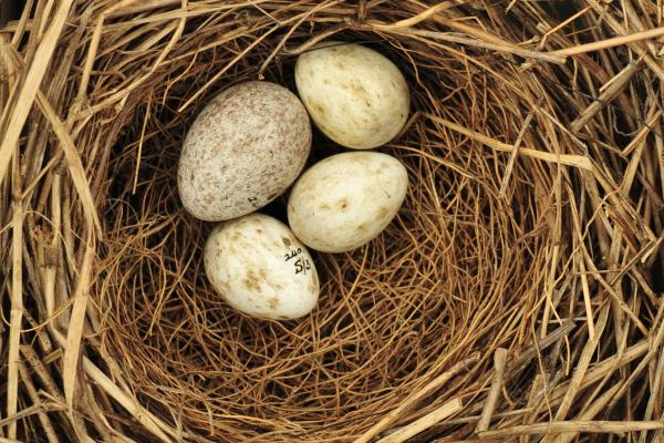 Nest of garden warbler (Sylvia borin) with 4 eggs, of which one is a cuckoo's egg