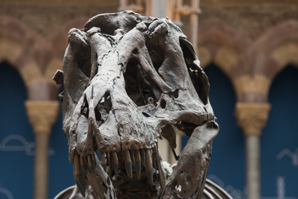 T rex in the main court of the Museum