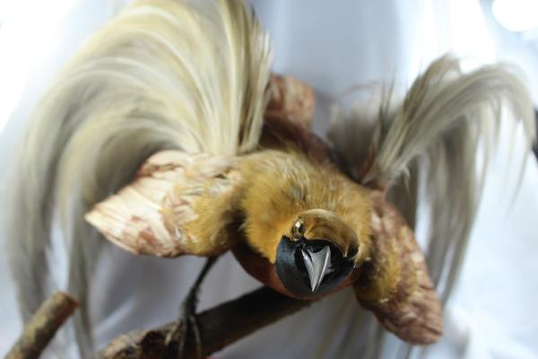 Male Lesser Bird of Paradise posed taxidermy