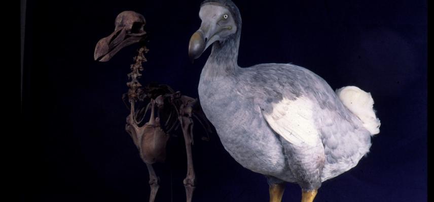 dodo web