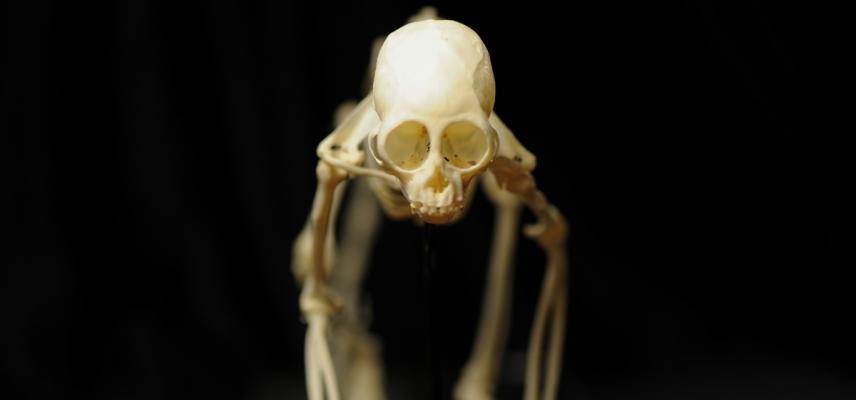 primate skeleton