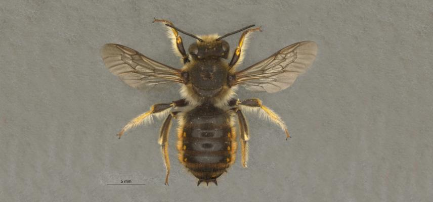 wool carder bee new
