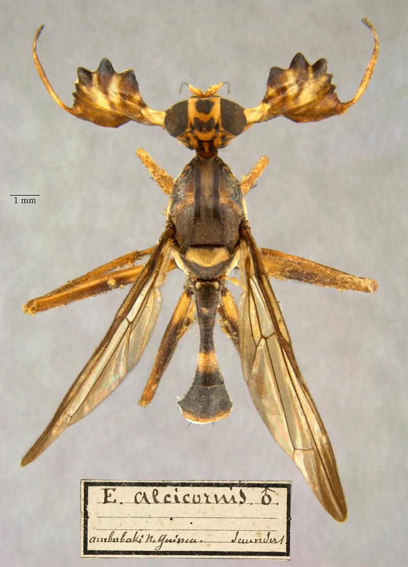 alcicornis insect