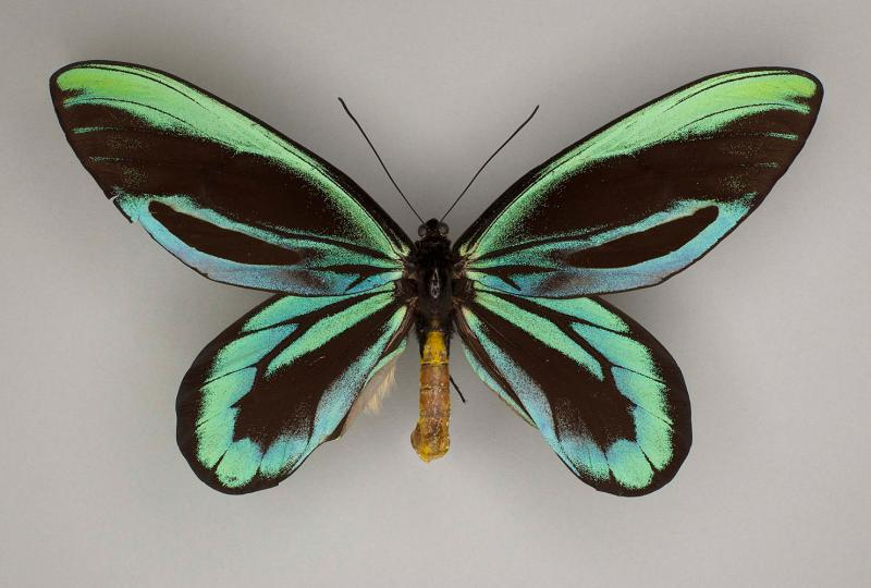 Queen Alexandra's Birdwing (Ornithoptera alexandrae)