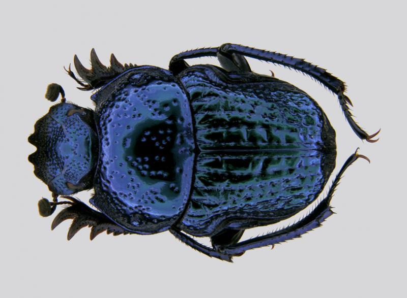 blue srilankasmall
