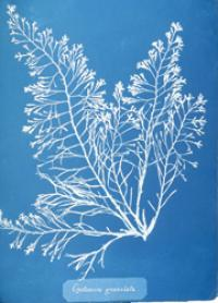 Copy of a cyanotype photograph from Anna Atkins' British Algae, Cyanotype Impressions, 1843.