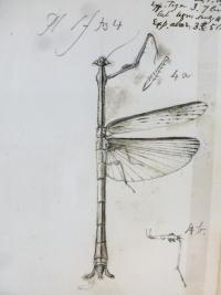 Sketch of mantis by J O Westwood